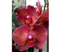 Phalaenopsis PH 191