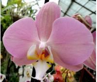 Phalaenopsis PH 196 'Padova'