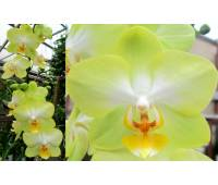 Phalaenopsis PH 198