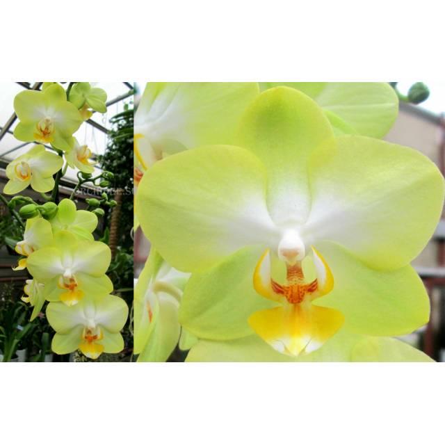 Phalaenopsis PH 198