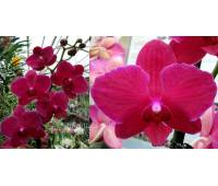 Phalaenopsis PH 201