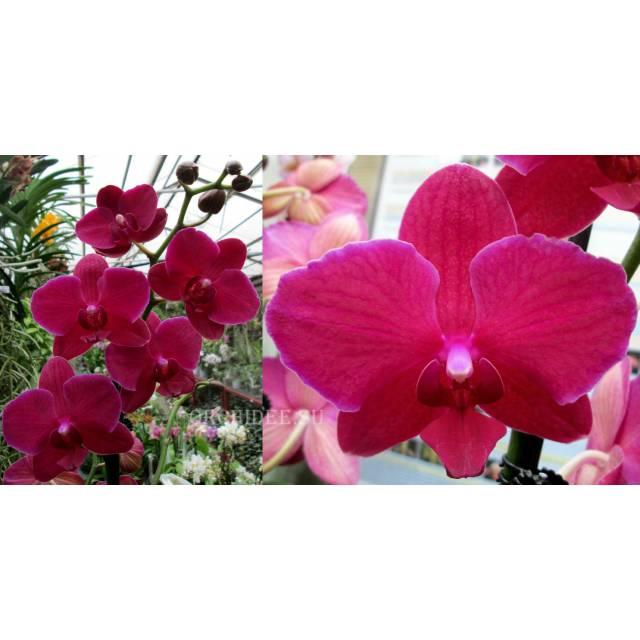 Phalaenopsis PH 201