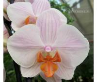Phalaenopsis PH 205