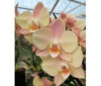 Phalaenopsis PH 206