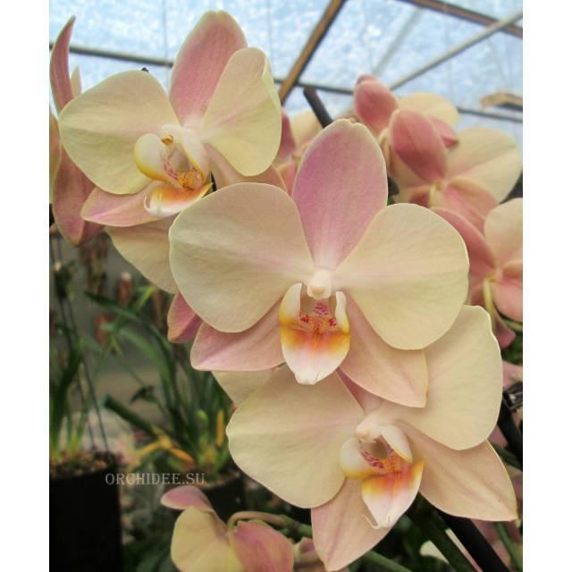 Phalaenopsis PH 206