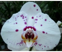 Phalaenopsis PH 207