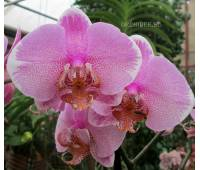 Phalaenopsis PH 208 Manhattan hybrid