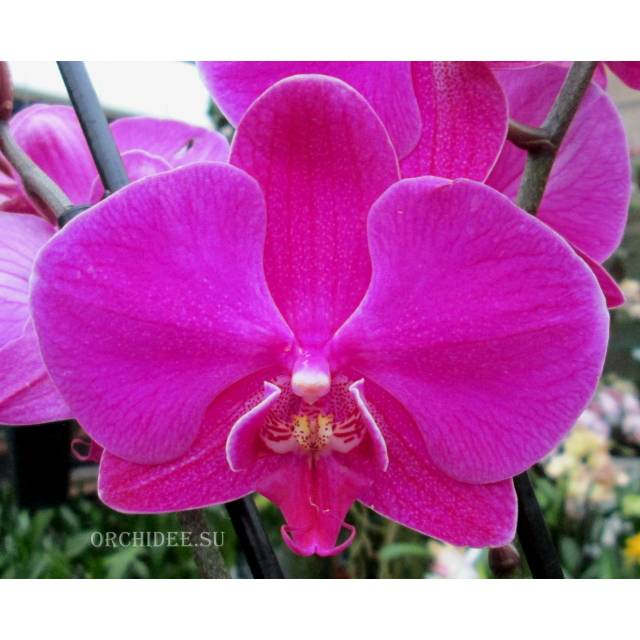 Phalaenopsis PH 209