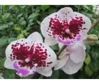 Phalaenopsis PH 214 Big LIp