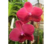 Phalaenopsis PH 217
