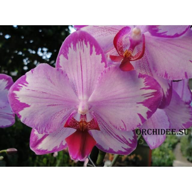 Phalaenopsis PH 221 Purple Edge