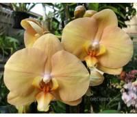 Phalaenopsis PH 223 OX Lottery Prince 'OX 957 'AM/AOS