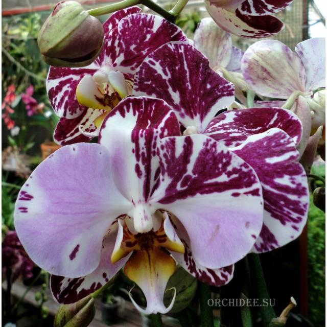 Phalaenopsis PH 226/1