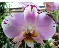 Phalaenopsis PH 226
