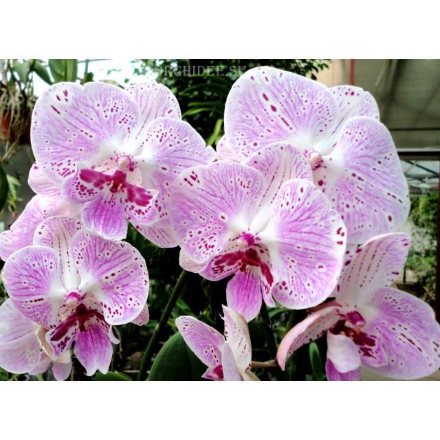 Phalaenopsis PH 228 Big Lip
