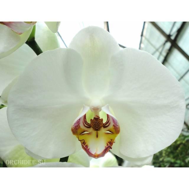 Phalaenopsis PH 229
