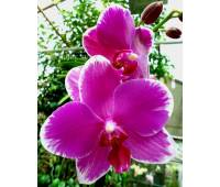 Phalaenopsis PH 231 Wild Edge