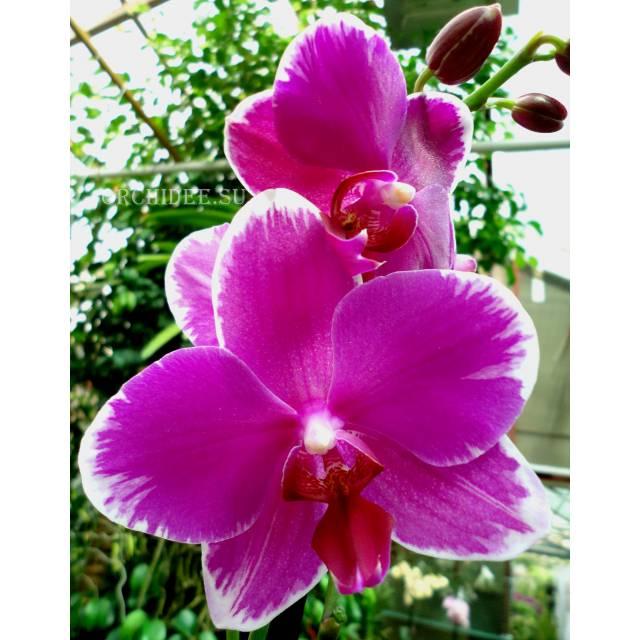 Phalaenopsis PH 231 Wild Edge
