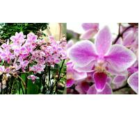 Phalaenopsis PH 232 Rainbow Chip