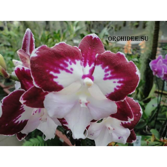 Phalaenopsis PH 236 Big Lip