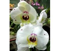Phalaenopsis PH 091 Starry Night