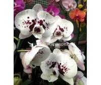 Doritaenopsis PH 093 Chian Xen Panda CX492 FCC/AOS