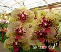 Phalaenopsis PH 113