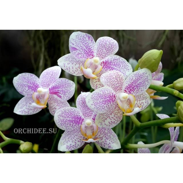 Phalaenopsis PHM 029 Gestippeld