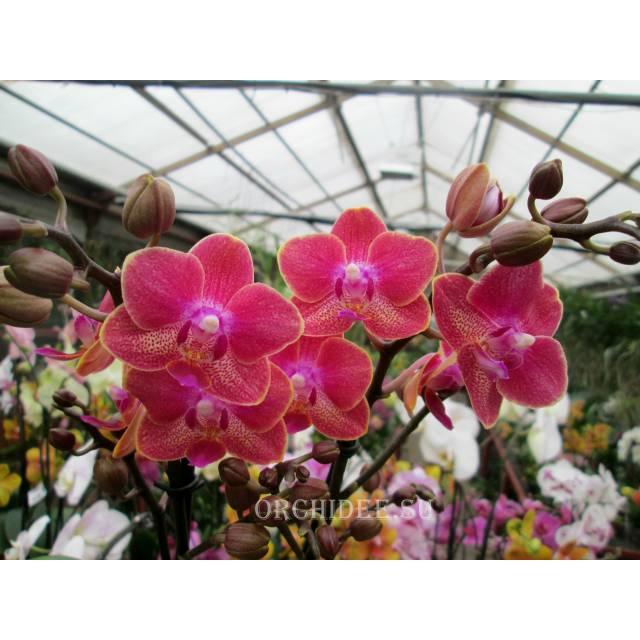 Doritaenopsis PHM 032