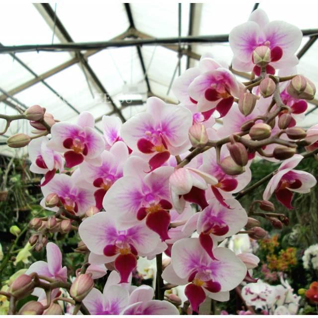 Phalaenopsis PHM 033 Sogo Jessica Red Lip