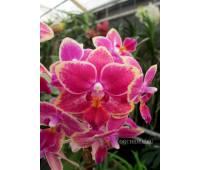 Phalaenopsis PHM 036 Denmark
