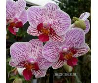 Phalaenopsis PHM 039 Sweet Red Lip