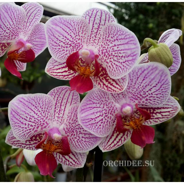 Phalaenopsis PHM 039 Sweet Red Lip