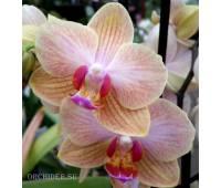 Phalaenopsis PHM 040 Jena