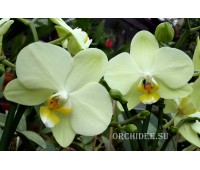 Phalaenopsis PHM 044 Brother Golden Embers 'Green'