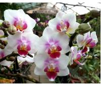 Phalaenopsis PHM 047 Brother Pico Sweetheart