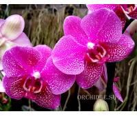 Phalaenopsis PHM 048 Hot spot