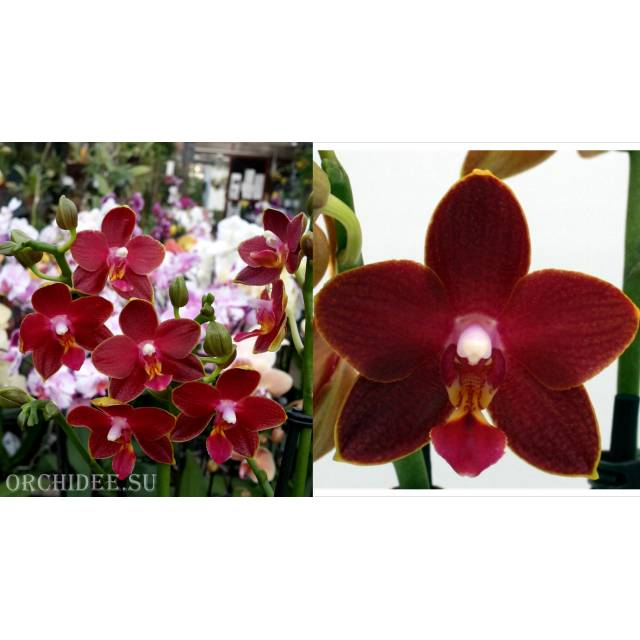 Phalaenopsis PHM 050 Table Dance Longlife 'Tying Shin Phoenix Rood'
