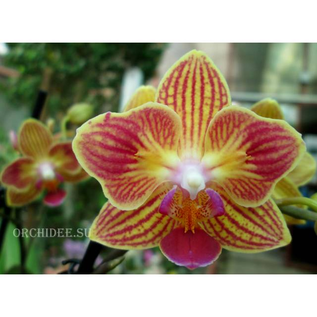Phalaenopsis PHM 052 Chingruey's Goldstaff