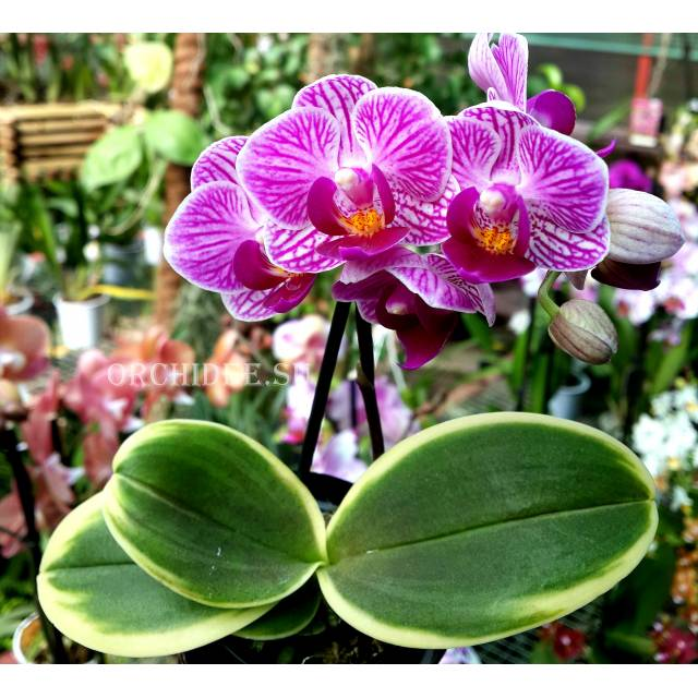 Doritaenopsis PHM 053 Sogo Vivien Variegated