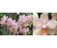 Phalaenopsis PHM 054