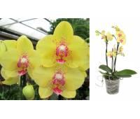 Phalaenopsis PHM 057 Multiflora 'Dragon'