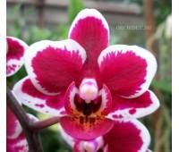 Phalaenopsis PHM 065