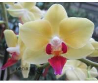 Phalaenopsis PHM 068 Fortune Salzman
