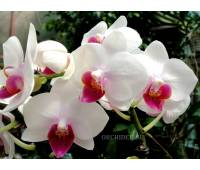 Phalaenopsis PHM 071 Red Lip 'Lovette'