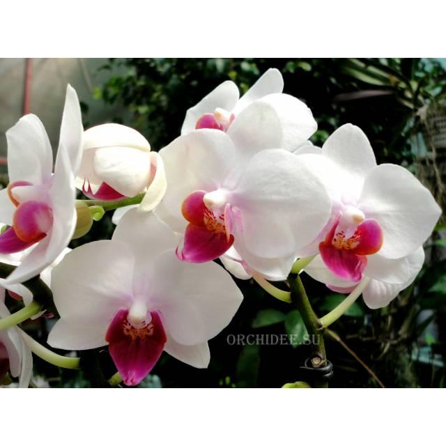 Phalaenopsis PHM 071 Red Lip 'Lovette'