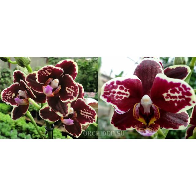 Phalaenopsis PHM 072 Bellinzona Harlekin type