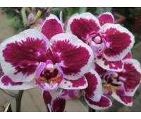 Phalaenopsis PHM 073