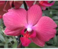 Phalaenopsis PHM 075