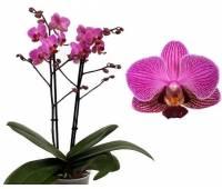 Phalaenopsis PHM 077 Perceval
